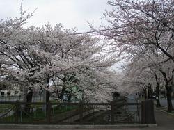 Sakura_08