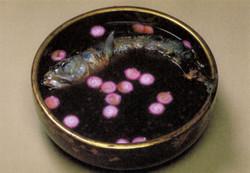 Zenzaisakana
