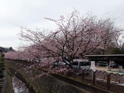 Sakura_g01