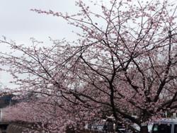 Sakura_g02