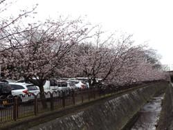 Sakura_g03