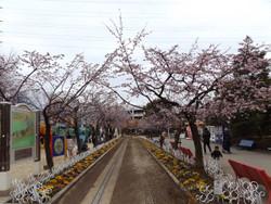 Sakura_g06