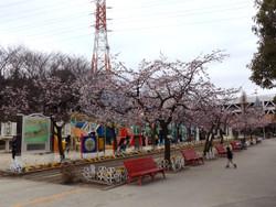 Sakura_g08