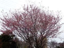 Sakura_g09