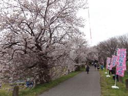 Sakura_a02