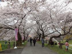 Sakura_a03