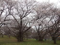 Sakura_a04