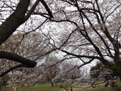 Sakura_a05