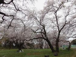 Sakura_a06