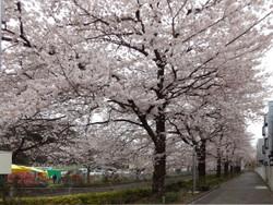 Sakura_a07
