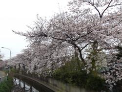 Sakura_a08