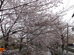 Sakura_a09