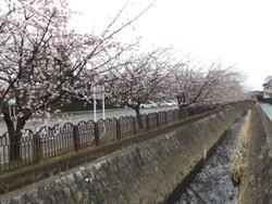 Sakura0306a
