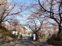 Angyosakura31