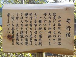 Angyosakura39