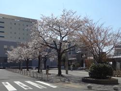 Sakura_komagome