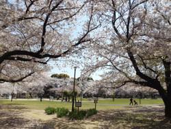 Adachi_hanahata5