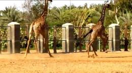 Giraffe_race1